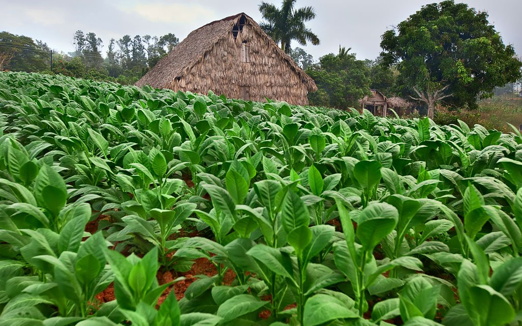 Growing Habano cigar wrappers leaves