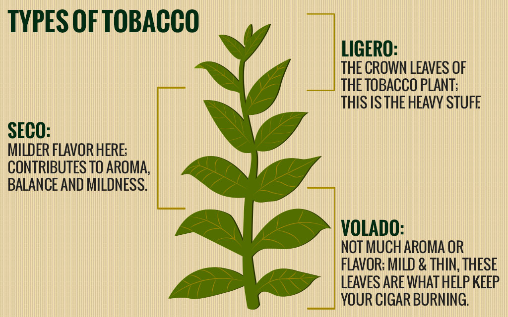 Parts of a tobacco plant