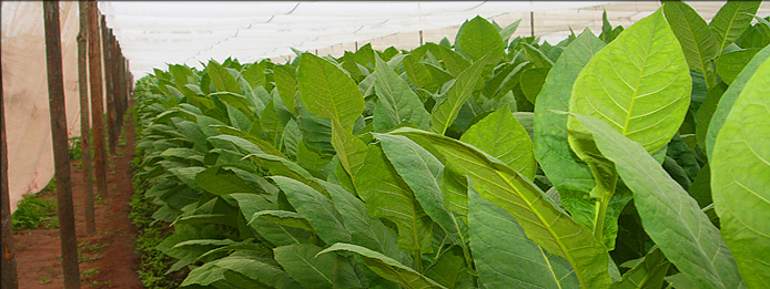 fuego cigars growing tobacco