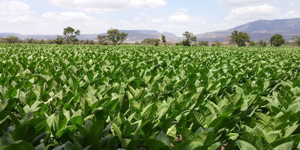 ligero tobacco fields drew estate full bodied cigars