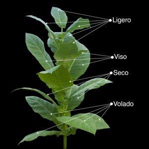 tobacco_plant