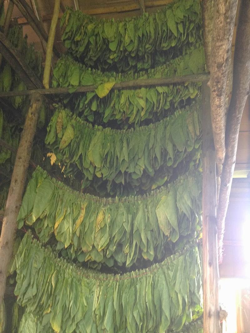cigar binder leaves saltas