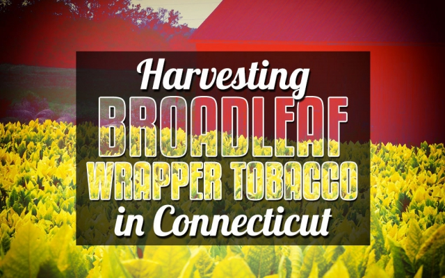 CACover harvesting Broadleaf wrapper tobacco in Connecticut