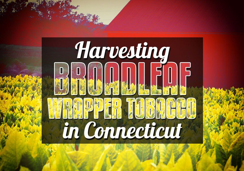 Harvesting Broadleaf Wrapper Tobacco in Connecticut