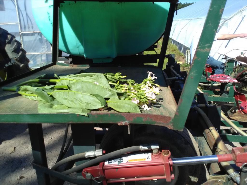 altadis broadleaf wrapper tour starting seeds