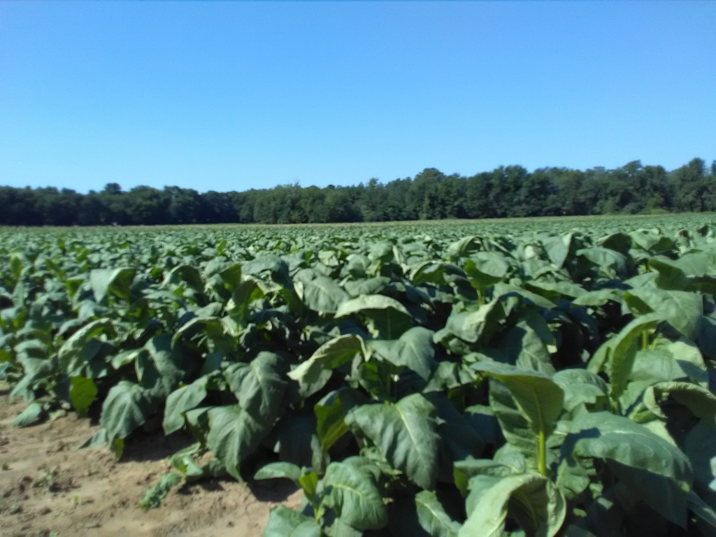 altadis broadleaf wrapper tour in the tobacco field 1