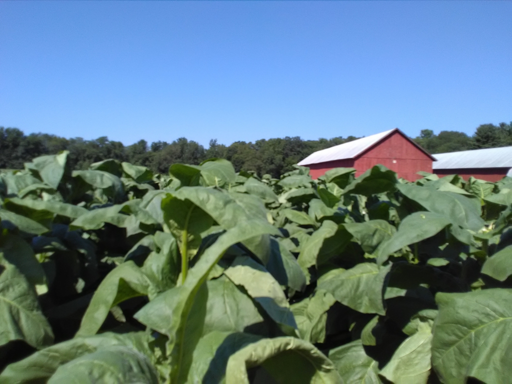 altadis broadleaf wrapper tour in the tobacco field 4