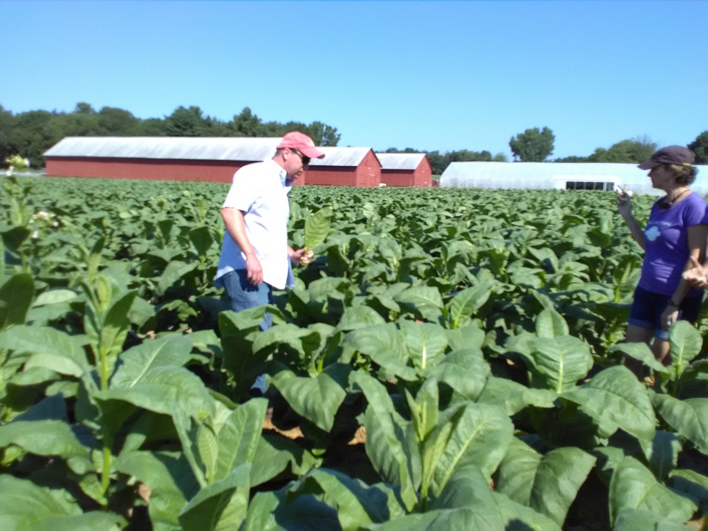 altadis broadleaf wrapper tour in the tobacco field 9
