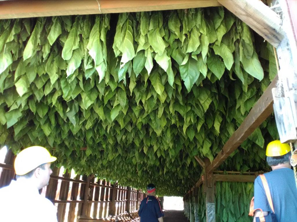 altadis broadleaf wrapper tour hanging tobacco 1