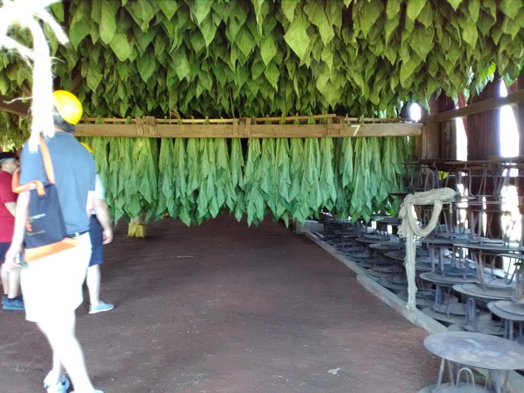 altadis broadleaf wrapper tour hanging tobacco 2