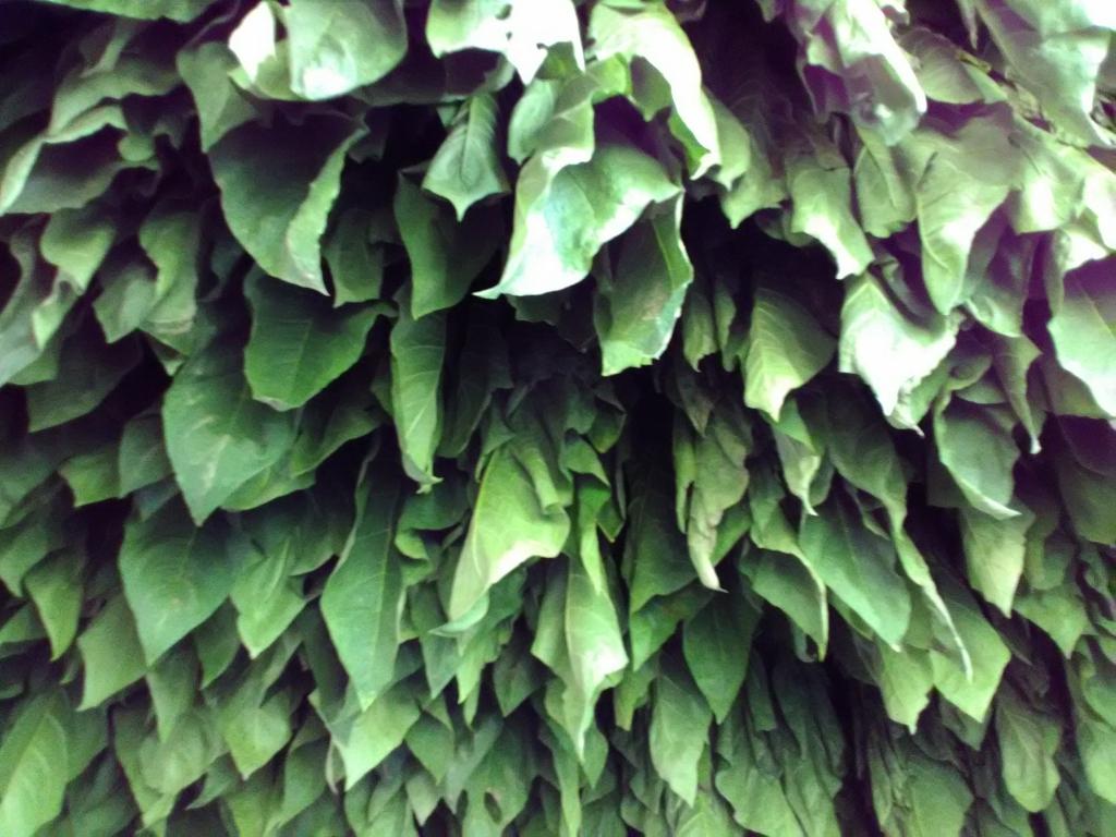 altadis broadleaf wrapper tour hanging tobacco 3