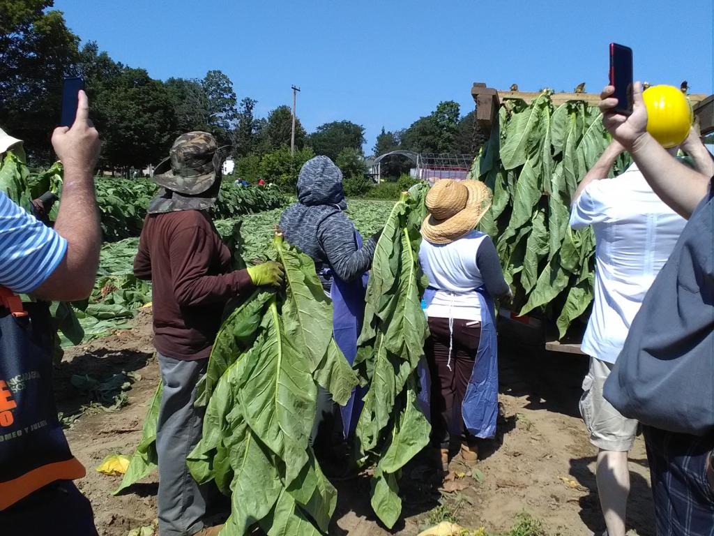 altadis broadleaf wrapper tour harvesting 1