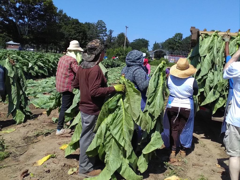 altadis broadleaf wrapper tour harvesting 2