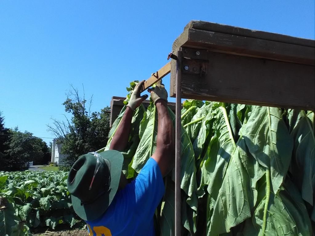 altadis broadleaf wrapper tour harvesting 3