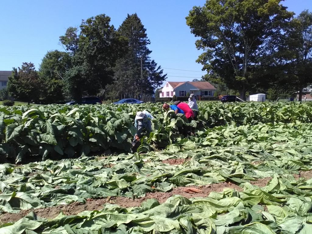altadis broadleaf wrapper tour harvesting 4