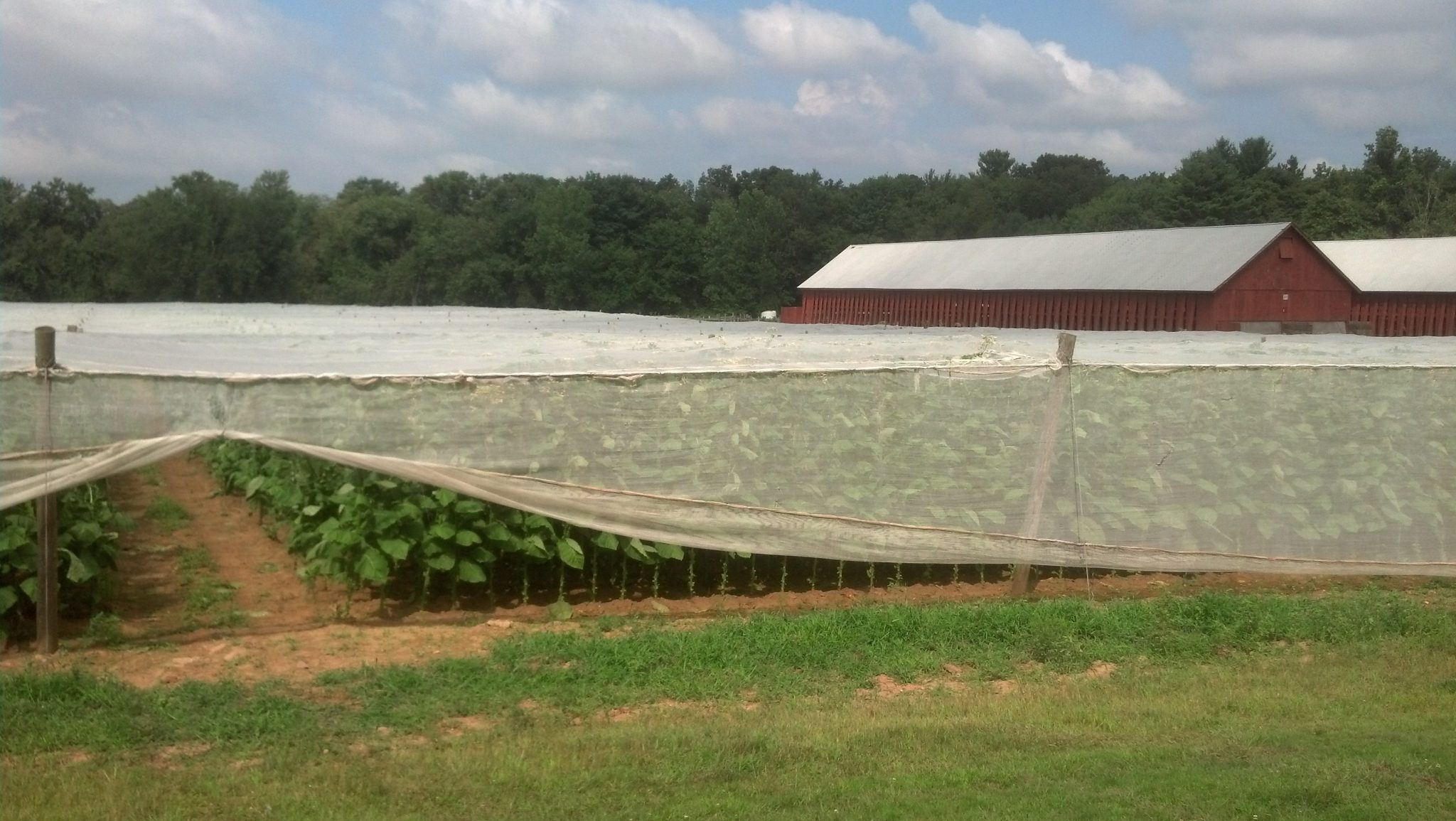 popular connecticut cigar resurgence - connecticut cigars - field of connecticut shade grown tobacco