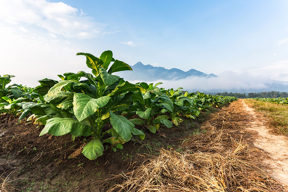 top puro cigars tobacco growing in a field